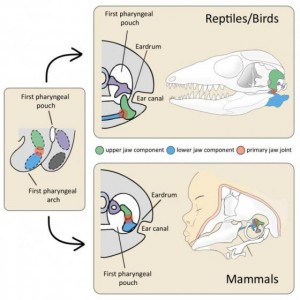 Morphology of jaw joints of mammals and diapsids (reptiles and birds).